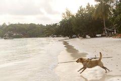 Σκυλί που τρέχει στην παραλία στοκ φωτογραφίες