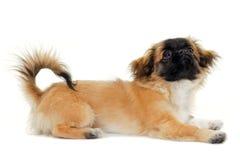 σκυλί που φαίνεται κου&ta Στοκ Φωτογραφίες