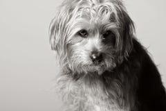 σκυλί που φαίνεται λυπη&mu Στοκ Φωτογραφίες