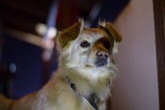 Σκυλί που φαίνεται προσεκτικό και που εμπιστεύεται Στοκ Φωτογραφία