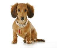 Σκυλί που φορά το περιλαίμιο και την ετικέττα Στοκ φωτογραφία με δικαίωμα ελεύθερης χρήσης