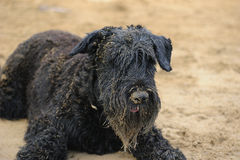 σκυλί που χαλαρώνουν μαύ&r Στοκ φωτογραφία με δικαίωμα ελεύθερης χρήσης