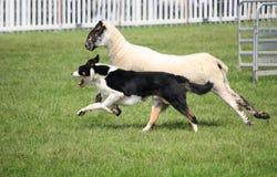 Σκυλί προβάτων ή κόλλεϊ συνόρων, επίσης γνωστό ως σκωτσέζικο τσοπανόσκυλο, με το διακριτικό γραπτό παλτό, που τρέχει παράλληλα με στοκ εικόνα