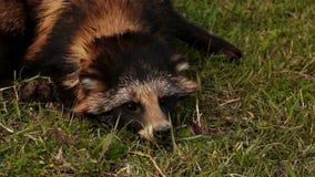 Σκυλί ρακούν που βρίσκεται στη χλόη φιλμ μικρού μήκους