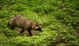 Σκυλί ρακούν στο δάσος στη Νότια Κορέα Στοκ εικόνες με δικαίωμα ελεύθερης χρήσης