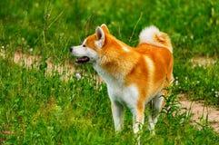 Σκυλί σε έναν τομέα με την ψηλή χλόη Akita Inu Ιαπωνία Στοκ Φωτογραφίες