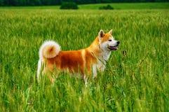 Σκυλί σε έναν τομέα με την ψηλή χλόη Akita Inu Ιαπωνία Στοκ εικόνα με δικαίωμα ελεύθερης χρήσης