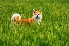 Σκυλί σε έναν τομέα με την ψηλή χλόη Akita Inu Ιαπωνία Στοκ φωτογραφία με δικαίωμα ελεύθερης χρήσης