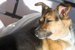 Σκυλί, σπίτι σε ένα Ύπνος στο κύριο κρεβάτι Μιγία σκυλί Στοκ Φωτογραφίες