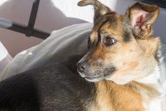 Σκυλί, σπίτι σε ένα Ύπνος στο κύριο κρεβάτι Μιγία σκυλί Στοκ φωτογραφία με δικαίωμα ελεύθερης χρήσης