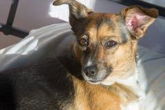 Σκυλί, σπίτι σε ένα Ύπνος στο κύριο κρεβάτι Μιγία σκυλί Στοκ Εικόνες
