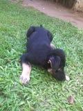Σκυλί Σρι Λάνκα της Νίκαιας smoll στοκ εικόνες