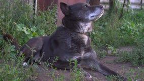 Σκυλί στα chainis που βρίσκονται στο έδαφος και που ρουθουνίζουν ποιο ` s στο περιβάλλον απόθεμα βίντεο