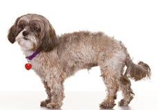 Σκυλί στην άσπρη ανασκόπηση Στοκ εικόνες με δικαίωμα ελεύθερης χρήσης