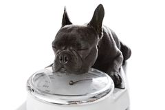 Σκυλί στην κλίμακα, με το υπερβολικό βάρος Στοκ φωτογραφία με δικαίωμα ελεύθερης χρήσης