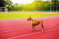 Σκυλί στην κόκκινη τρέχοντας διαδρομή Στοκ Φωτογραφία