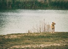 Σκυλί στη λίμνη, μόνο στοκ φωτογραφία
