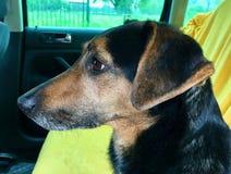 Σκυλί στη πίσω θέση ενός αυτοκινήτου Στοκ εικόνες με δικαίωμα ελεύθερης χρήσης
