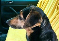 Σκυλί στη πίσω θέση ενός αυτοκινήτου Στοκ εικόνα με δικαίωμα ελεύθερης χρήσης