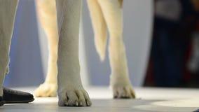 Σκυλί στις λεπτομέρειες επίδειξης κινηματογραφήσεων σε πρώτο πλάνο απόθεμα βίντεο