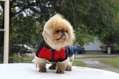 Σκυλί στις φόρμες Στοκ εικόνα με δικαίωμα ελεύθερης χρήσης