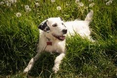 Σκυλί στον τομέα πικραλίδων Στοκ εικόνα με δικαίωμα ελεύθερης χρήσης