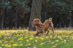 Σκυλί στο δάσος φθινοπώρου Στοκ Φωτογραφία