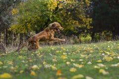 Σκυλί στο δάσος φθινοπώρου Στοκ Εικόνες