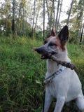 Σκυλί στο δάσος στοκ εικόνα με δικαίωμα ελεύθερης χρήσης
