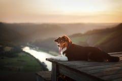 Σκυλί στο ηλιοβασίλεμα στη φύση Pet σε μια ξύλινη γέφυρα υπάκουος αυστραλιανός ποιμένας στοκ φωτογραφίες με δικαίωμα ελεύθερης χρήσης