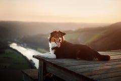 Σκυλί στο ηλιοβασίλεμα στη φύση Pet σε μια ξύλινη γέφυρα υπάκουος αυστραλιανός ποιμένας στοκ φωτογραφία