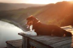 Σκυλί στο ηλιοβασίλεμα στη φύση Pet σε μια ξύλινη γέφυρα υπάκουος αυστραλιανός ποιμένας στοκ εικόνα με δικαίωμα ελεύθερης χρήσης