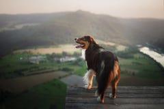 Σκυλί στο ηλιοβασίλεμα στη φύση Pet σε μια ξύλινη γέφυρα υπάκουος αυστραλιανός ποιμένας στοκ εικόνες