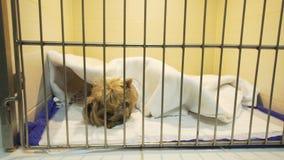 Σκυλί στο κλουβί μετά από τη χειρουργική επέμβαση Στοκ εικόνα με δικαίωμα ελεύθερης χρήσης