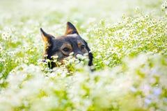 Σκυλί στο λιβάδι λουλουδιών Στοκ εικόνες με δικαίωμα ελεύθερης χρήσης