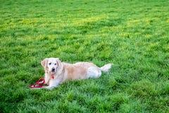 Σκυλί στο πάρκο στη χλόη στοκ φωτογραφία