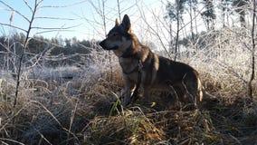 Σκυλί στο παγωμένο δάσος στοκ φωτογραφίες με δικαίωμα ελεύθερης χρήσης
