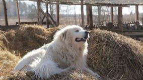 Σκυλί στο σανό στο χωριό - το μεγάλο χνουδωτό σκυλί σε μια θυμωνιά χόρτου χασμουριέται lazily και ρουφά γουλιά γουλιά φιλμ μικρού μήκους