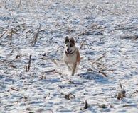 Σκυλί στο χιόνι Στοκ φωτογραφίες με δικαίωμα ελεύθερης χρήσης