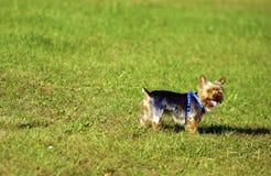 Σκυλί στο χορτοτάπητα Στοκ Εικόνες