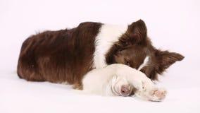 Σκυλί συνόρων κόλλεϊ που κλείνει το πρόσωπό της με τα πόδια απόθεμα βίντεο