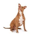 σκυλί ταύρων που ανατρέχει κοίλωμα Στοκ φωτογραφίες με δικαίωμα ελεύθερης χρήσης