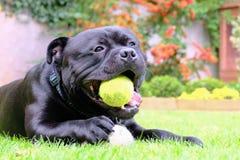 Σκυλί τεριέ ταύρων Staffordshire με τη σφαίρα αντισφαίρισης που βρίσκεται στη χλόη Στοκ εικόνες με δικαίωμα ελεύθερης χρήσης