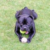Σκυλί τεριέ ταύρων Staffordshire με τη σφαίρα αντισφαίρισης που βρίσκεται στη χλόη Στοκ φωτογραφία με δικαίωμα ελεύθερης χρήσης