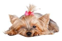 Σκυλί τεριέ του Γιορκσάιρ με το κόκκινο τόξο Στοκ εικόνα με δικαίωμα ελεύθερης χρήσης