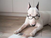 Σκυλί τεριέ του Bull με εκλεκτής ποιότητας eyeglasses στοκ εικόνα με δικαίωμα ελεύθερης χρήσης