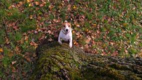 Σκυλί τεριέ του Jack Russell που πηδά σε ένα δέντρο απόθεμα βίντεο