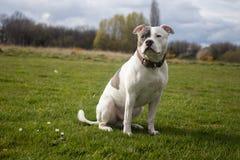 Σκυλί τεριέ Staffordshire Bull που περπατά στο πάρκο στοκ εικόνα