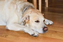 Σκυλί της Pet Στοκ φωτογραφία με δικαίωμα ελεύθερης χρήσης