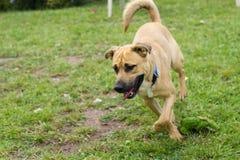 Σκυλί της Tan που τρέχει στη χλόη στοκ εικόνα με δικαίωμα ελεύθερης χρήσης